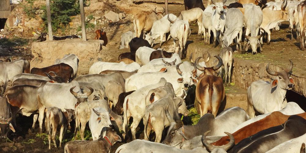 Urban Livestocks