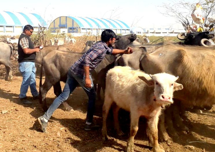 The cattle staying in the Cattle shelter were vaccinated
